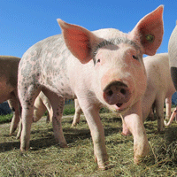 pig-214349_640.png
